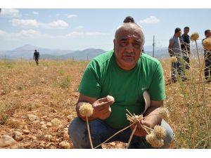 Tunceli'de Dağ Sarımsağının Hasadı Yapıldı