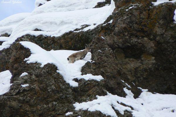 Pülümür'de Dağ Keçileri Tehlikede! galerisi resim 1