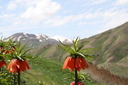 Munzur Dağları'ndaki Ters Laleler Büyülüyor