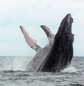 Kambur balinaların aşk dansı! GALERİ