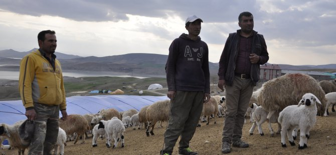 Bahar geldi, koyunlar kuzularla buluştu VİDEO HABER