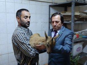 Hasta dağ keçisi tedavi altına alındı