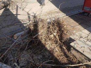 Kuş yuvalarına rağmen kavak ağacı kesildi