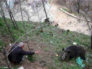 Yaban domuzunu elleriyle besliyorlar