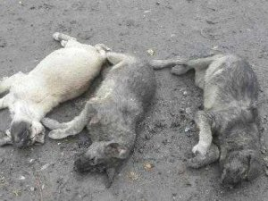 Pertek'te köpeklerin öldürüldüğü iddiası
