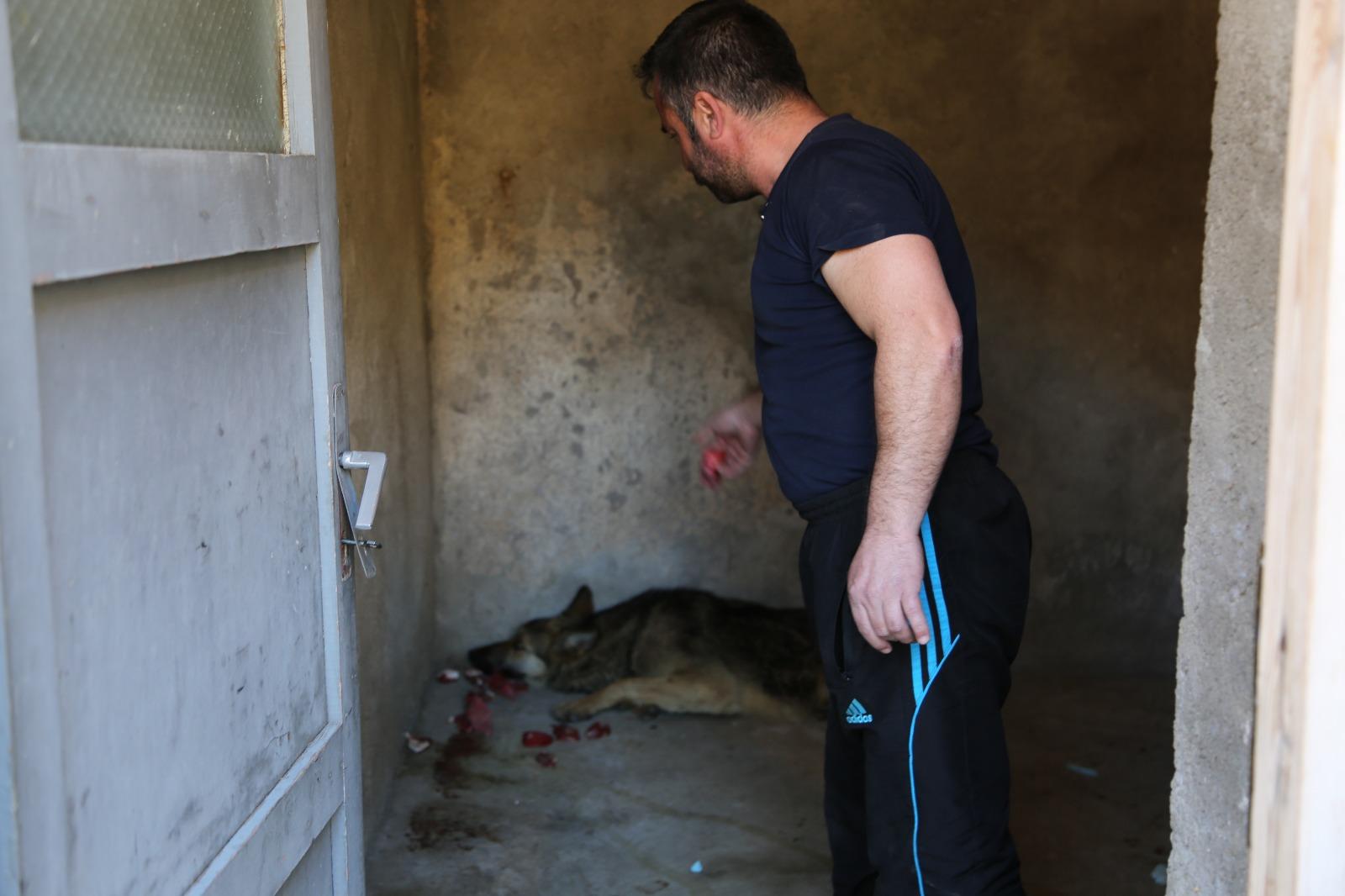 Yaralı kurda evde bakıyor