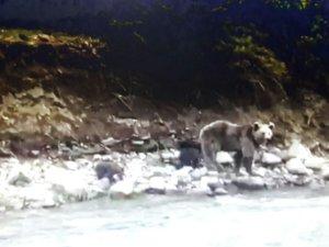 Anne ayı ve yavruları böyle görüntülendi VİDEO HABER
