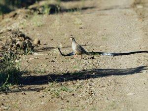 Kekliğin yavrularını yılandan koruma mücadelesi