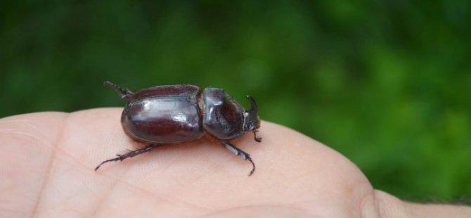 Dünyanın en güçlü böceği Çemişgezek'te