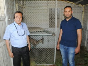 Yaralı dağ keçisi tedavi için Malatya'ya gönderildi