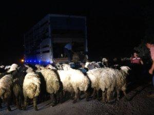 Koyun yüklü kamyon devrildi