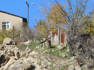 Yaban keçileri ilçe merkezine kadar iniyor