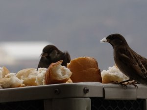 Klima motorunda ısınan serçeler, ekmekle besleniyor