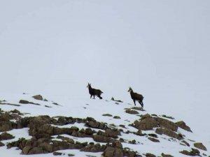 Dağcılara yaban keçisi sürprizi