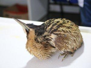 Nesli tükenen Balaban Kuşu, tedavi altına alındı