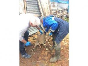 Saldırıya uğrayan dağ keçisi tedavi altına alındı