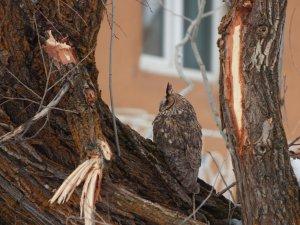 Kulaklı orman baykuşu fotoğraflandı