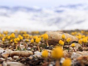 """Ovacık'ta bahar """"kar çiçekleri"""" ile geldi"""