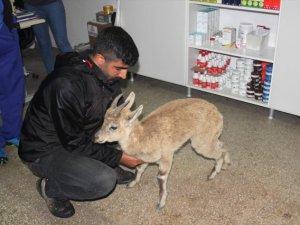 Yaban keçisi yavrusu tedavi altına alındı
