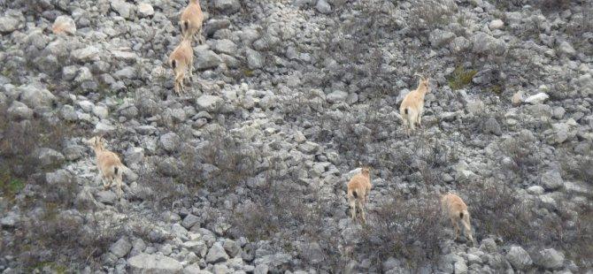 Bahar geldi, dağ keçileri ortaya çıktı