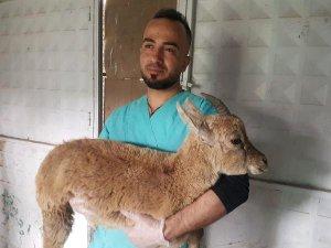Yaralı yaban keçisi, tedavi altına alındı