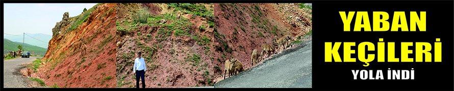 Yaban keçileri yola indi