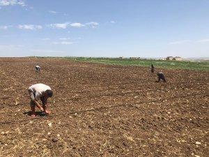 Diyarbakır karpuzu Akpazar'da yeşerecek