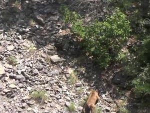 Boz ayı ve dağ keçisi görüntülendi