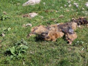 Munzur Dağları'nda ayı cesedi bulundu