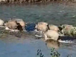 Domuz sürüsü Pülümür Çayı'nı yüzerek geçti