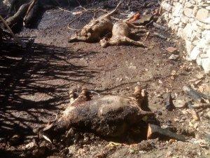 Pülümür'de 2 ev yandı, çok sayıda hayvan da telef oldu