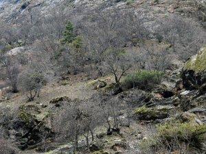 Yaban keçileri yiyecek ararken görüntülendi