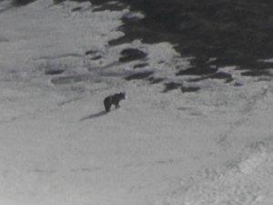 Mercan Vadisi'nde boz ayılar görüntülendi