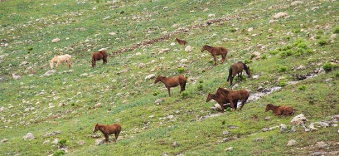 Mercan Dağları'nın yılkı atları doğaya renk katıyor