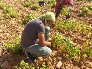 Dersimli sanatçılar, türküler eşliğinde fasulye hasadı yaptı