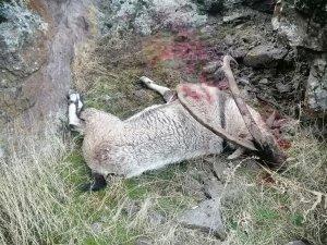 Dağ keçisini vuran şahıs yakalandı