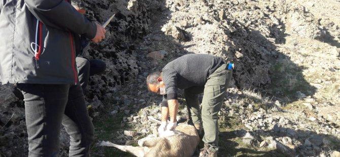 Dağ keçileri salgından öldü