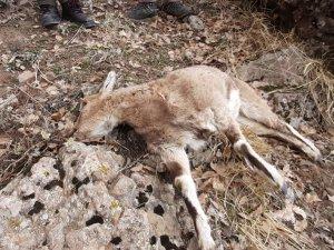 Koruma altındaki 8 dağ keçisi, bakteriden ölmüş