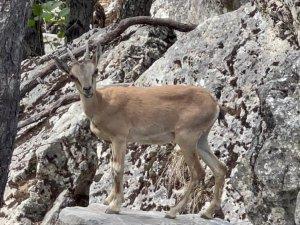 Yaban keçileri Munzur ve Pülümür Vadisi'nde görüntülendi