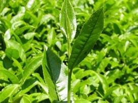 Üreticilerden 150 bin ton çay alındı