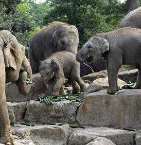 Salatalıklarına güvenemedi, fillere yedirdi