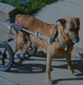 Hırsızlar, engelli köpeğin aracını çaldı