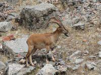 Dersim'in Kutsalları Dağ Keçileri