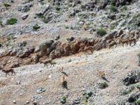 Dağ keçileri, suya inerken görütülendi