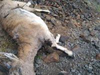 Dersim'de dağ keçileri hastalıktan ölüyor!