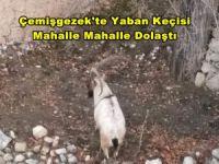 Yaban keçileri ilçeyi mesken tuttu