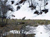 Vaşaklar, Mazgirt'te görüntülendi
