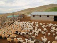 Koyunlar kuzularla buluştu
