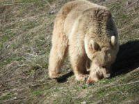 Bahar erken geldi, ayılar kış uykusundan uyandı
