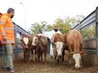 80 çiftçiye 400 büyükbaş hayvan